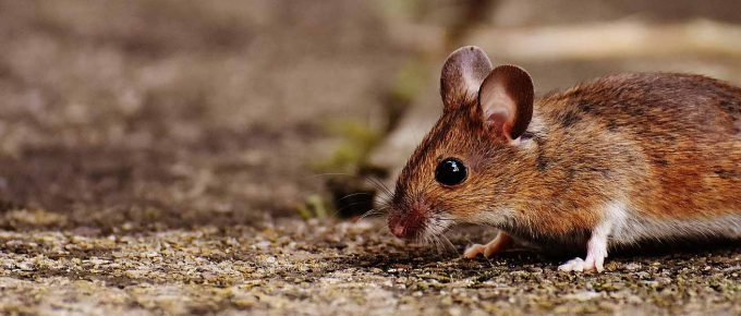 How to Make Mouse Poison – Step by Step Guidelines