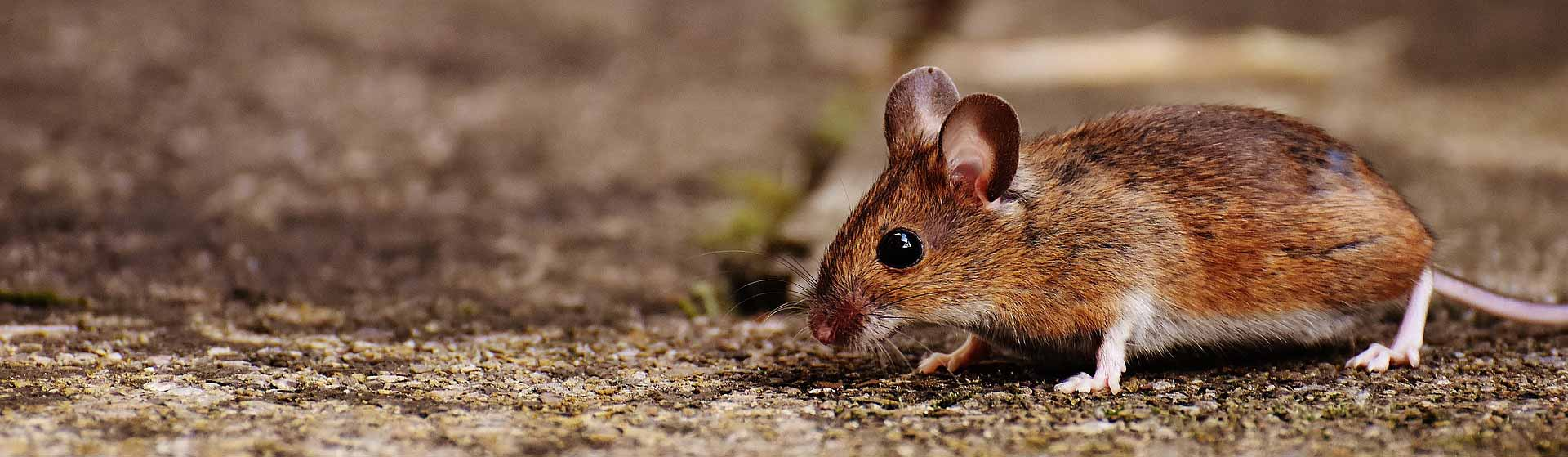 How to Make Mouse Poison 2019- Step by Step Guidelines